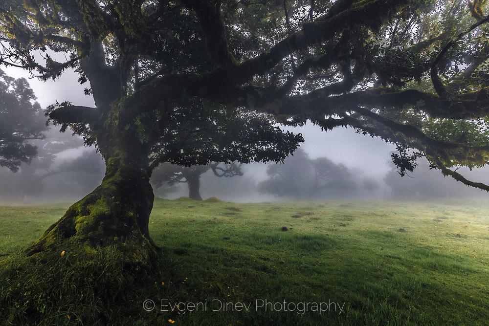 Misty laurel forest in Madeira