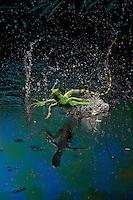 Green basilisk or plumed basilisk running on water (Basiliscus plumifrons), Costa Rica Image by Andres Morya