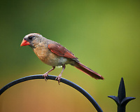 Female Cardinal. Image taken with a Nikon D4 camera and 600 mm f/4 VR telephoto lens