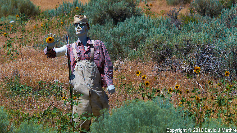 Zombie Sunflower Farmer. Image taken with a Nikon D300 and 80-400 mm VR lens (ISO 200, 220 mm, f/8, 1/1000 sec)