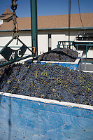 Abundance of grapes in containers