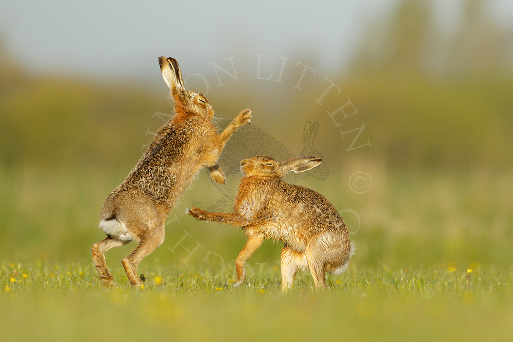 European Hare (Lepus europaeus) adult pair boxing in grass meadow, South Norfolk, UK. May.