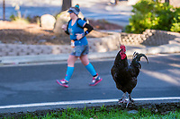 Rosters look for food as runners run through Fair Oaks Village in the California International Marathon (CIM), Sunday Dec 3, 2017.<br /> photo by Brian Baer