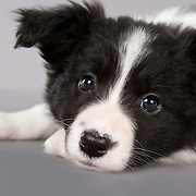 20110228Border Collie Puppies