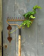 Garden rake with vine against old shed door