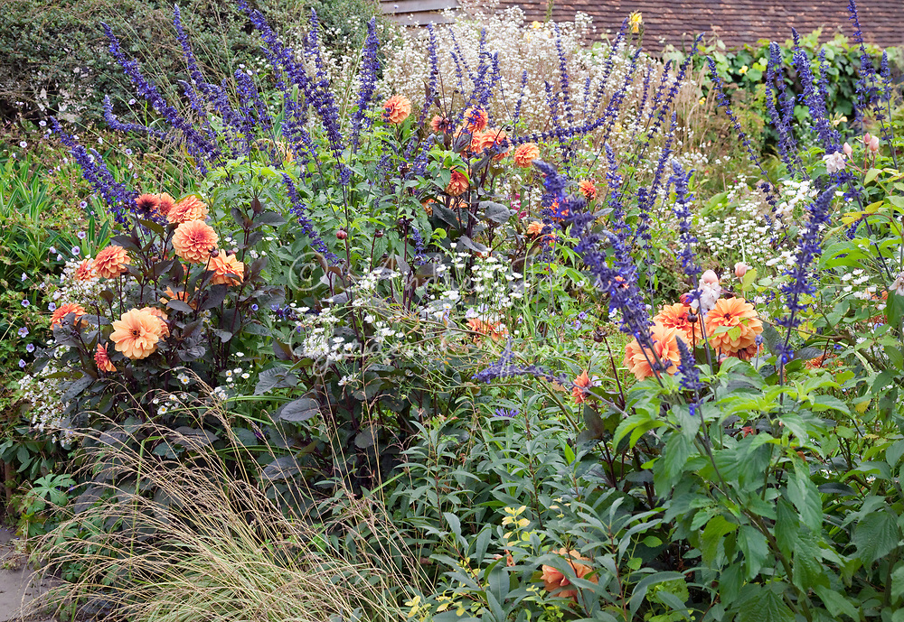 late summer border with Salvias and Dahlias in the Sunk Garden at Great Dixter, East Sussex, England