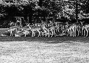 Den Haag 01-05-1971 Koekamp<br /> Herten zoeken verkoeling in de schaduw van het Hertenkamp naast het Malieveld in Den Haag<br /> <br /> ©Ronald Speijer