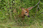 White Tailed Deer Fawn, Seawall Campground, Acadia National Park, Maine