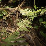 Juvenile Pope's Pit Viper (Trimeresurus popeiorum) in situ in Kaeng Krachan national park, Thailand