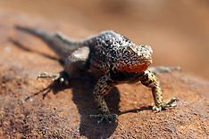 Galapagos Lava Lizard (Microlophus albermarlensis)