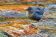 American dipper in the Spotted Bear River. From my 2013 Artist-in-Wilderness Connection program residency run by the Flathead National Forest, Hockaday Museum of Art, Bob Marshall Wilderness Foundation and the Swan Ecosystem Center. Flathead Naitonal Forest, northwest Montana.