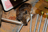 Dead Mouse in the Basement. Image taken with a Nikon D3 and 105 mm f/2.8 VR macro lens with a SB-900 flash (ISO 200, 105 mm, f/11, 1/60 sec).