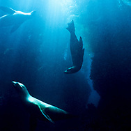 Underwater view of a California Sea Lions, Zalophus Californianus, swimming near Santa Barbara Island, Channel Islands National Park, CA.