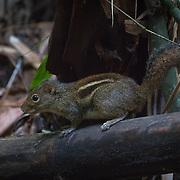 Indochinese Ground Squirrel (Menetes berdmorei) in Kaeng Krachan National Park, Thailand.