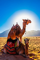 Camels in the Arabian Desert, Wadi Rum, Jordan.