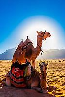 Camels in the Arabian Desert, Wadi Rum, Jordan.