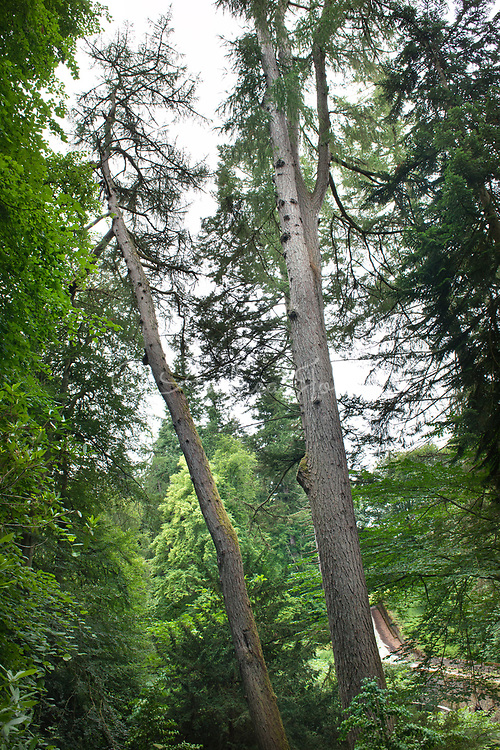 Larix decidua (European larch)
