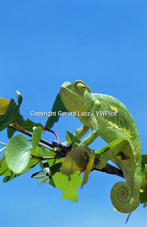 Chameleon, chamaeleo sp, Adult standing on Branch, Namibia