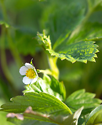 THEMENBILD - eine Blüte einer Erdbeerpflanze im Sonnenlicht, aufgenommen am 10. April 2018, Kaprun, Österreich // a blossom of a strawberry plant in the sunlight on 2018/04/10, Kaprun, Austria. EXPA Pictures © 2018, PhotoCredit: EXPA/ Stefanie Oberhauser