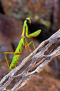 350104-1005C ~ Copyright:  George H. H. Huey ~ Praying mantis on decaying cholla cactus stem.  Sonoran Desert, Arizona.