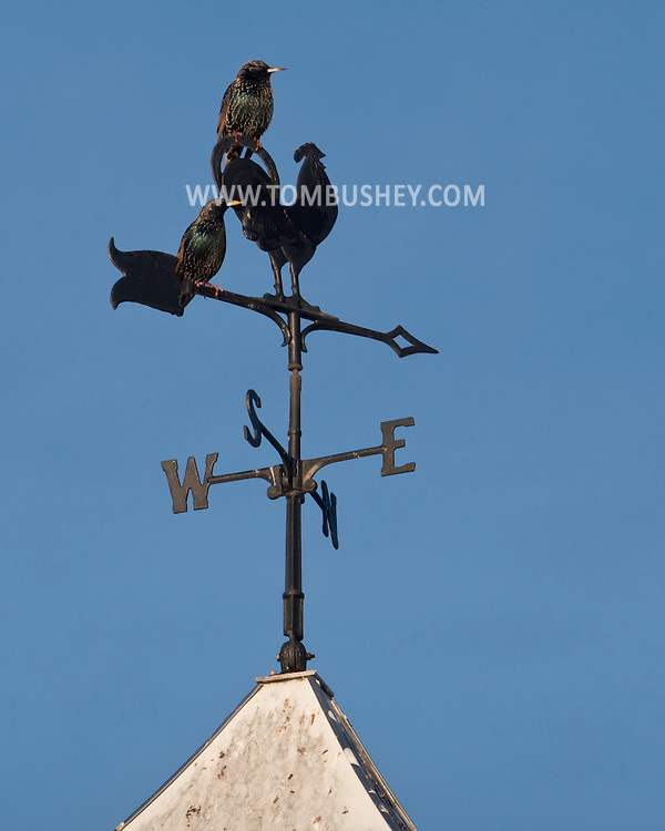 Town of Wallkill, New York - Birds perch on a wind vane on a barn at Mark Ford Training Center on Dec. 27, 2014. ©Tom Bushey / The Image Works