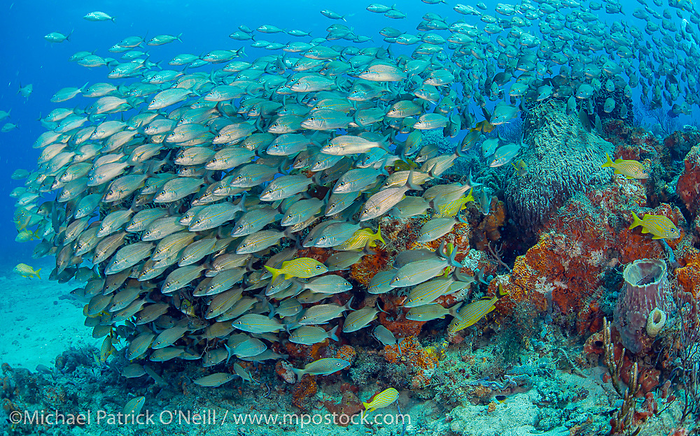 A variety of tropical fish swarm a coral reef offshore Palm Beach, Florida, United States.