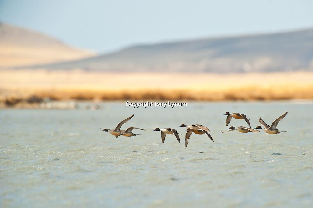 courtship flight, northern pintail ducks courtship flight, close to water
