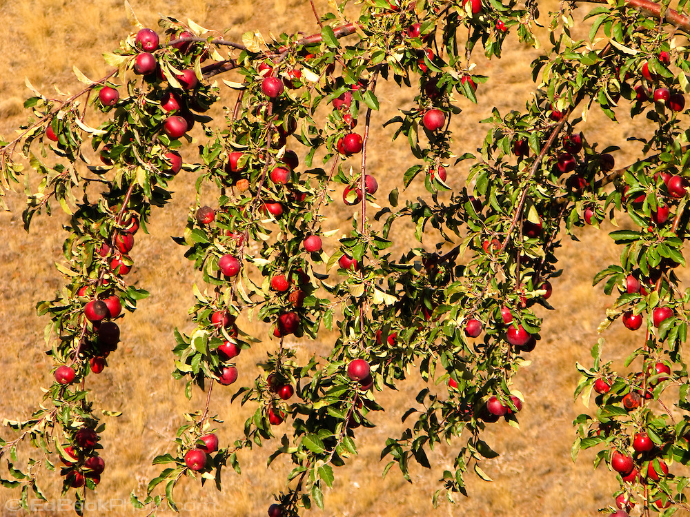 A fruit filled apple tree (Malus domestica) found along a country road in rural Garfield County, WA, USA.