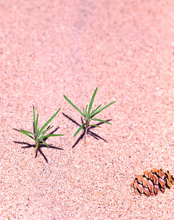 Young Pines & Cone