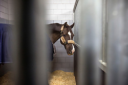 Charlotte Dujardin's, (GBR), Valegro waiting to get loaded into the flying stall<br /> Departure of the horses to the World Cup Finals in Las Vegas from Schiphol - Amsterdam 2015.<br />  © Hippo Foto - Dirk Caremans