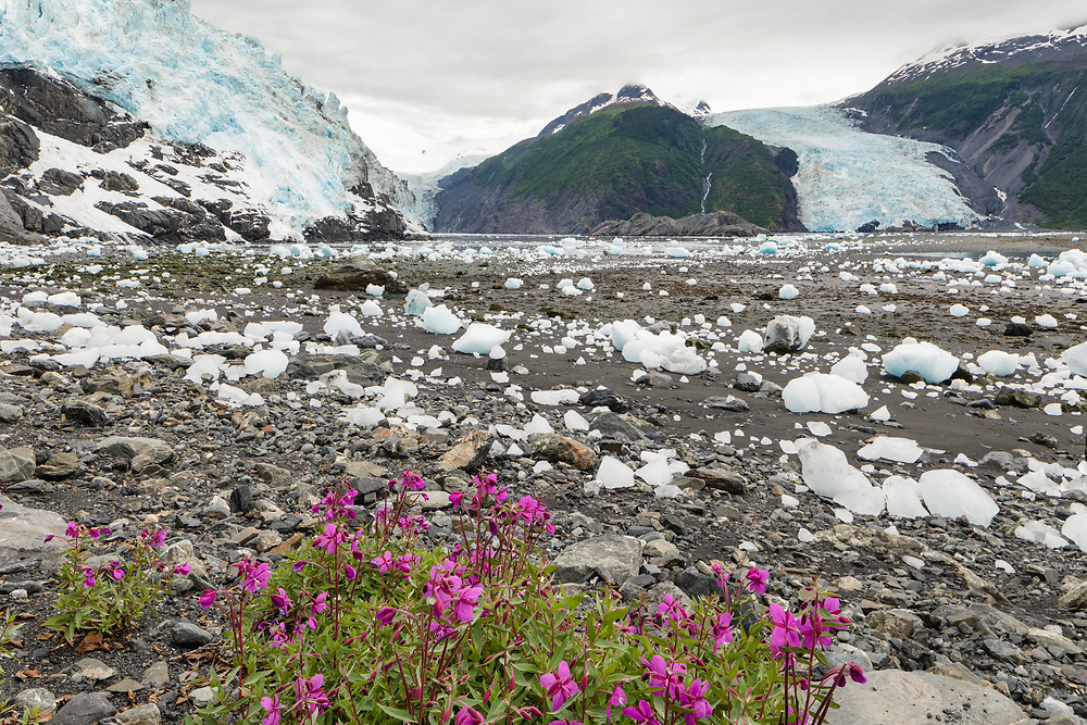 Dwarf Fireweed (Epilobium latifolium) contrasts with icebergs from Cascade, Barry, and Coxe Glaciers in Prince William Sound in Southcentral Alaska. Summer. Morning.