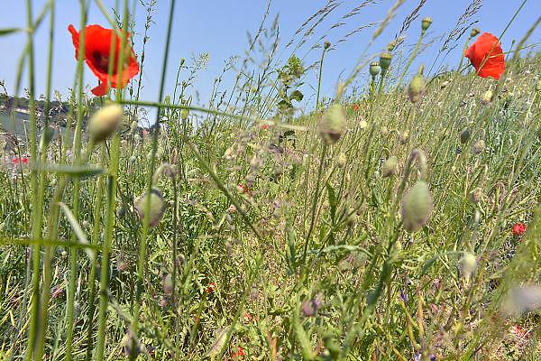 Nederland, Ubbergen, 8-6-2013Veldbloemen en gras ook wel onkruid genaamd, langs de oever van de rivier de waal, rijn. De pluizen zijn zaden die door de wind vervoerd worden om elders een nieuwe plant te vormen.Foto: Flip Franssen/Hollandse Hoogte