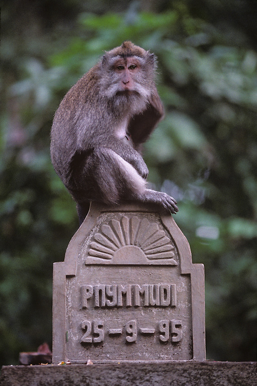 Indonesia, Bali, Ubud, Long-tailed macaques (Macaca fascicularis) in Monkey Forest Sanctuary