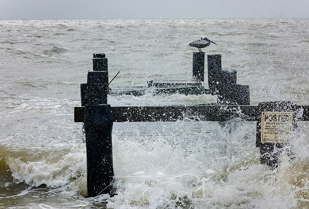 A brown pelican perches on a broken wharf as waves from Mobile Bay crash alongside Dauphin Island Parkway, June 22, 2017, in Coden, Ala. The area experienced significant flooding and high surf following heavy rains caused by Tropical Storm Cindy. The tropical storm made landfall at daybreak near Lake Charles, La., leaving one person dead and a drenched Gulf Coast, from Texas to Florida, in its wake. (Photo by Carmen K. Sisson/Cloudybright)