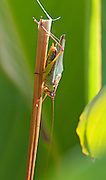 Handsome Meadow Katydid; Orchelimum pulchellum; male; NJ, Cape May