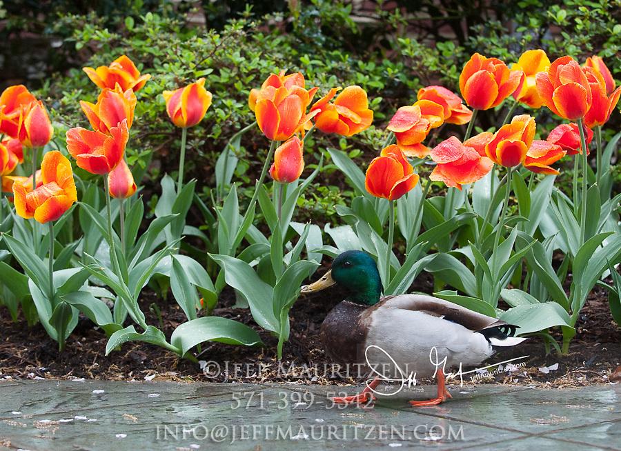 A mallard duck walks alongside blooming tulips.