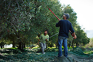 Two men gather olives from the trees during the harvesting season on the Greek island of Crete . Commissioned by PR Media Co.