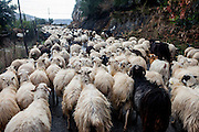 Shepherd Antronis is walking his sheep from the mountain down to the valley at the sea as the season ends. He has 400 of them and is doing the long way 4 times in the winter.