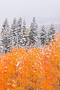 Fresh snow on fall aspens and pines, Inyo National Forest, Sierra Nevada Mountains, California USA