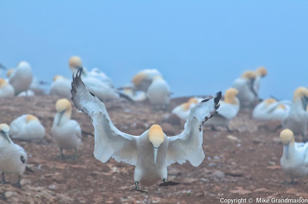 Northern gannet (Morus bassanus) in colony<br />Parc national de l'Île-Bonaventure-et-du-Rocher-Percé<br />Quebec<br />Canada