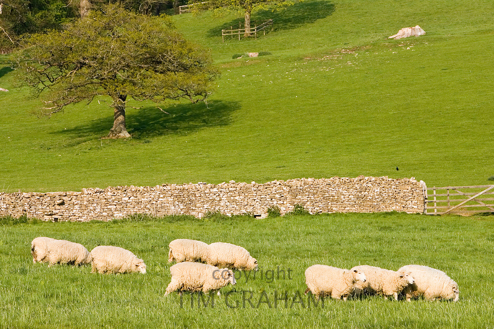 Sheep grazing, Chedworth, Gloucestershire, United Kingdom