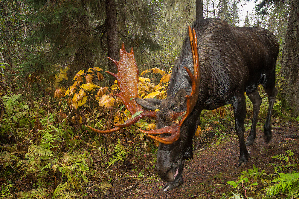 Bull Moose coming up the trail