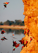 Carmine Bee-eaters nest in the banks of the river..South Luangwa National Park, Zambia, Africa.© Demelza Cloke