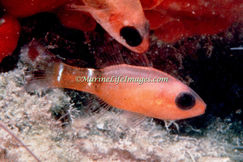 Broadsaddle Cardinalfish inhabit recesses and caves in reefs usually deeper than 60 ft. Tropical West Atlantic; picture taken Turks & Caicos.