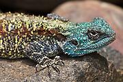 Southern Rock Agama, Kruger, South Africa