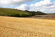 Rolling fields of stubble chalk scarp escarpment slope of Inkpen Hill, Berkshire, England, UK