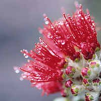 Ohia Lehua blossom with raindrops from Mauna Loa on the Big Island of Hawaii