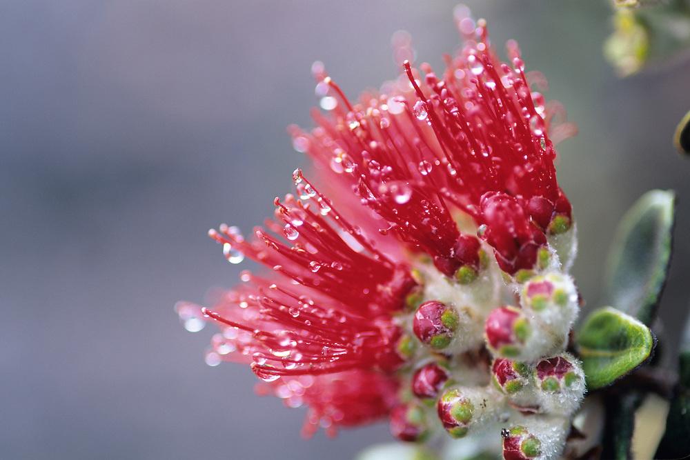 Ohia Lehua blossom with raindrops from Mauna Loa on the Big Island of Hawaii