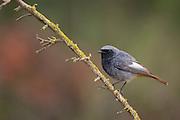 Black Redstart (Phoenicurus ochruros) perched on a branch, israel in January