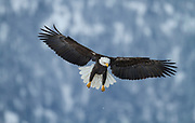 Bald Eagle in Alaska during winter